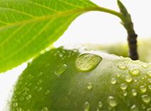 Apple Leaf Extract