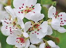 Pear Tree Blossom